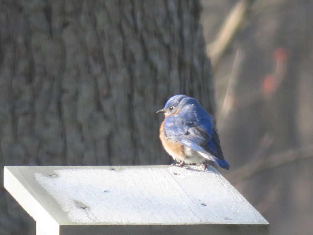 EASTERN BLUEBIRD APRIL 20 2018