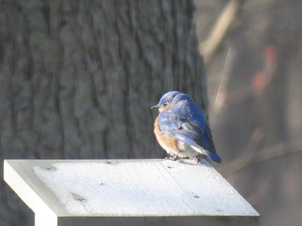 EASTERN BLUEBIRD APRIL 20 2018