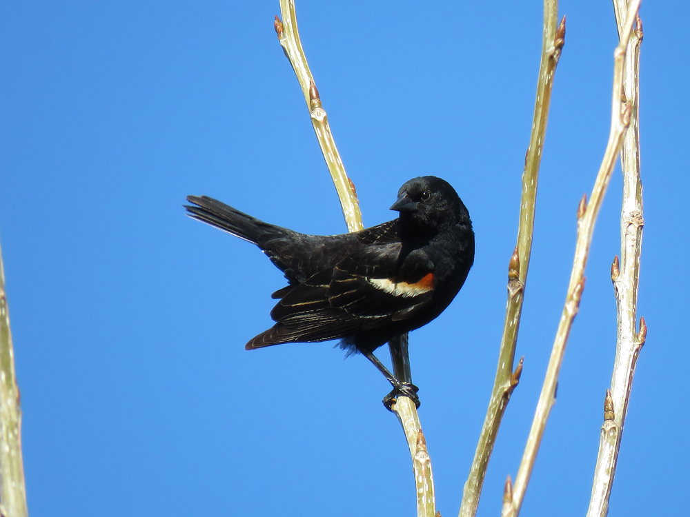 Red-winged Blackbird...one of several species providing some great tunes on Earth Day 2018!