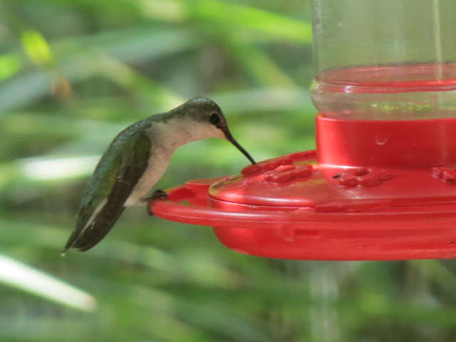 Ruby-throated Hummingbird visiting Sept 2017