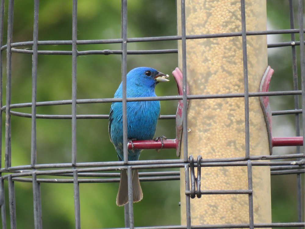 Indigo Bunting lovin' our White Millet & Nyjer Seed combined in our Droll Yankees Seed Feeder