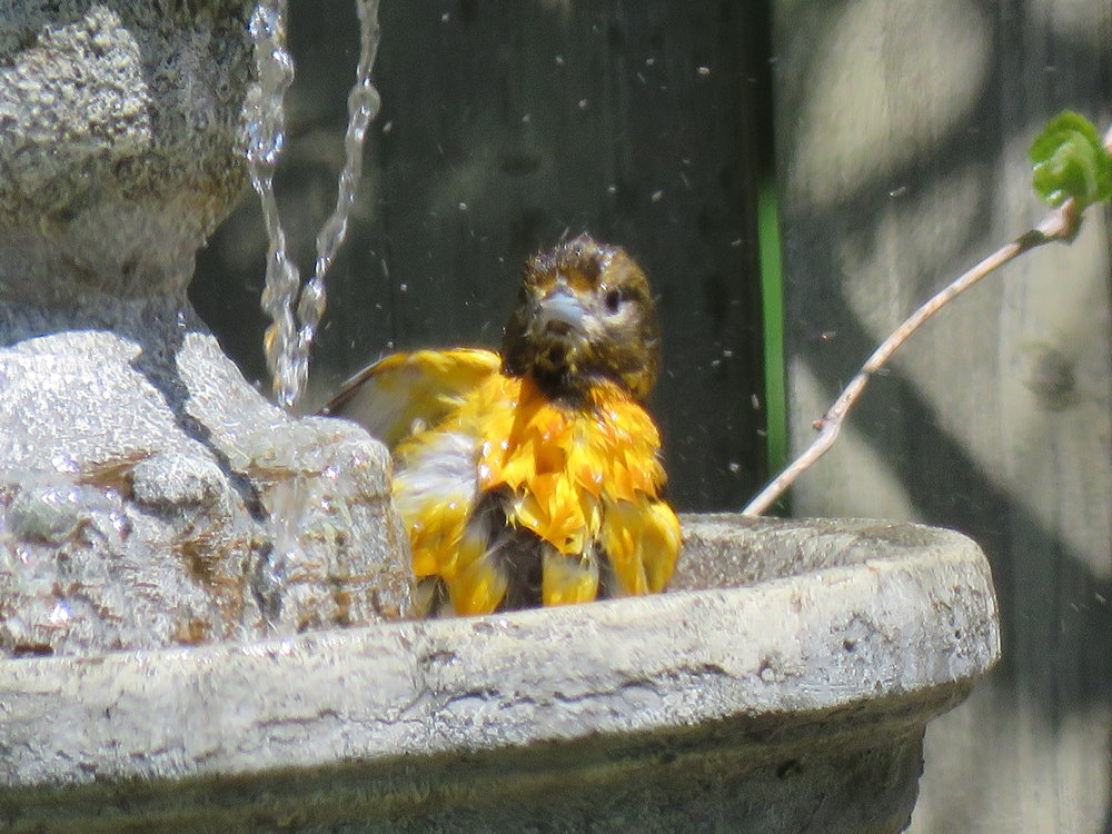 Baltimore Oriole splashing in our fountain!