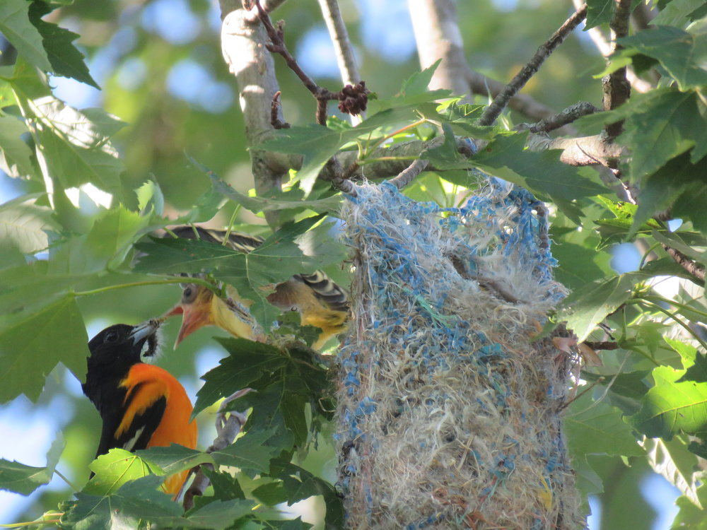 Dad Baltimore Oriole brings food to the nest...It's a day where they are encouraging them to leave this cozy spot!