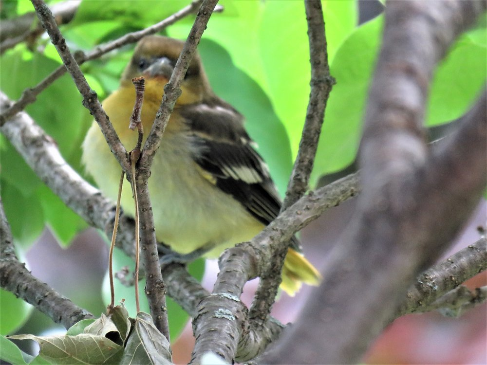 How adorable is this newly-fledged Baltimore Oriole!!