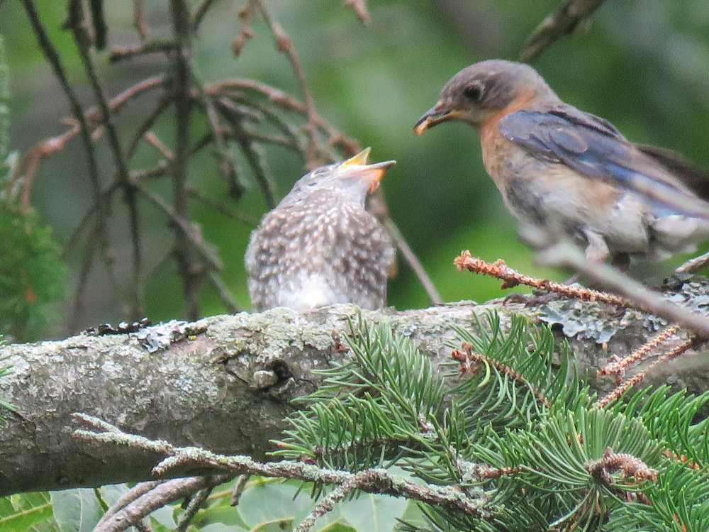 F Eastern Bluebird cares for her fledgling
