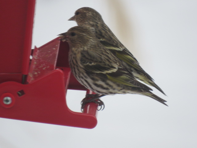 PINE SISKINS ENJOYING SUNFLOWER HEARTS AT A LARGE CAPACITY FEEDER!