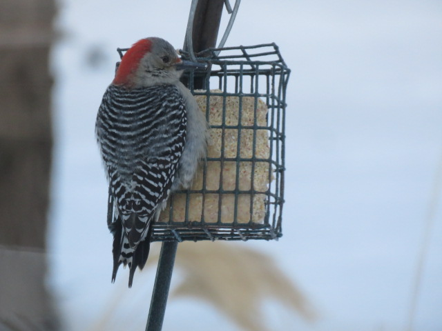 F Red-bellied Woodpecker visiting our suet feeder, February 1 2019