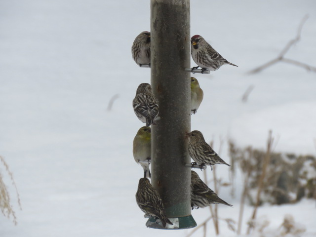 Redpolls, Pine Siskins, Goldfinches sharing the Nyjer Seed feeder