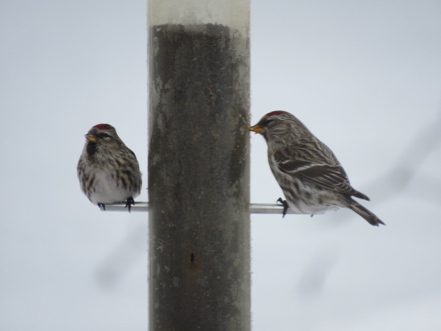 Redpolls enjoying the nyjer seed - March 2019