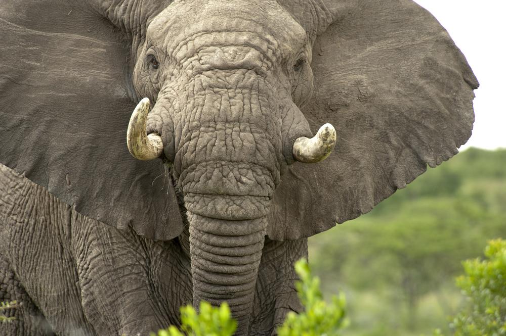 Ivory war