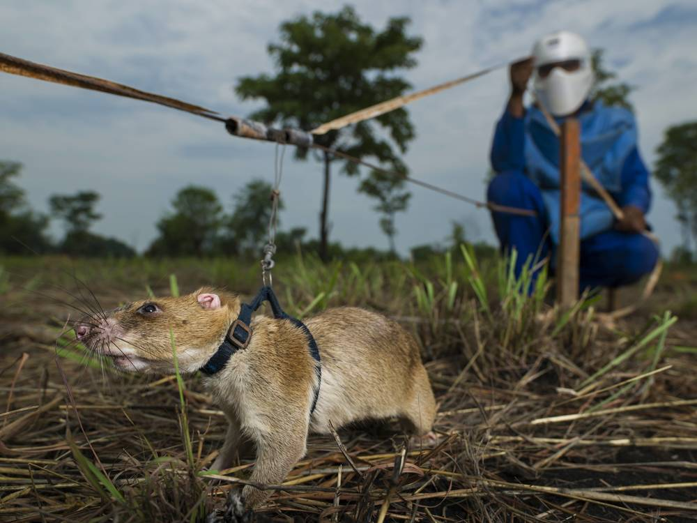 GONDOLA DISTRICT, MOZAMBIQUE: African pouch rats, with their acute sense of smell, are trained by Anti-Personnel Landmines Detection Product Development (APOPO) to sniff out landmines, which are subsequently detonated on the spot by deminers. Using rats significantly speeds up the process of clearing landmines. Brent Stirton/Getty Images/ICRC
