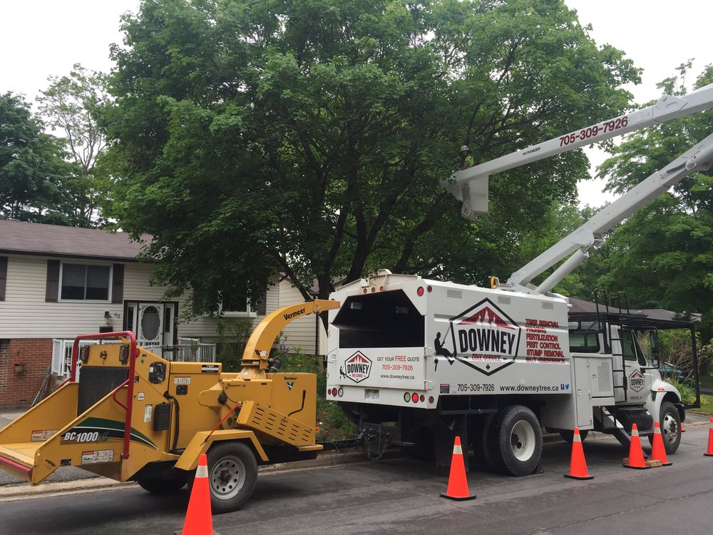 Norway maple removal in Barrie.