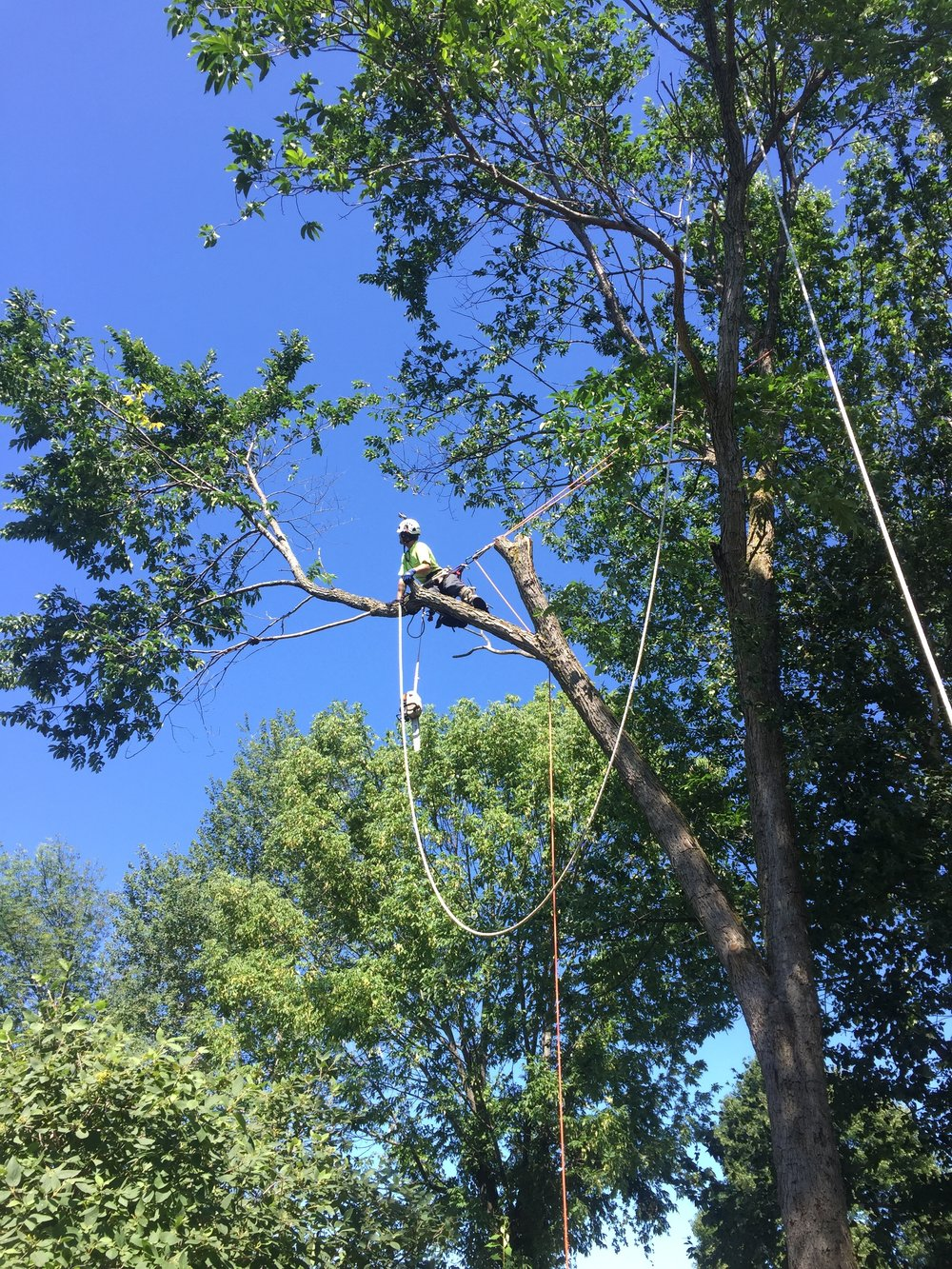 Elm removal in Snow Valley