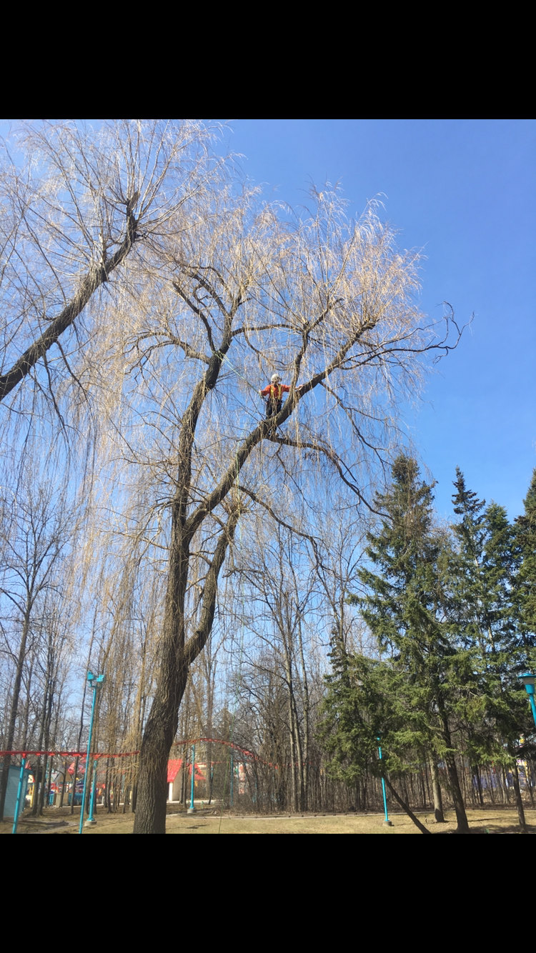 Willow pruning at Canada's Wonderland.