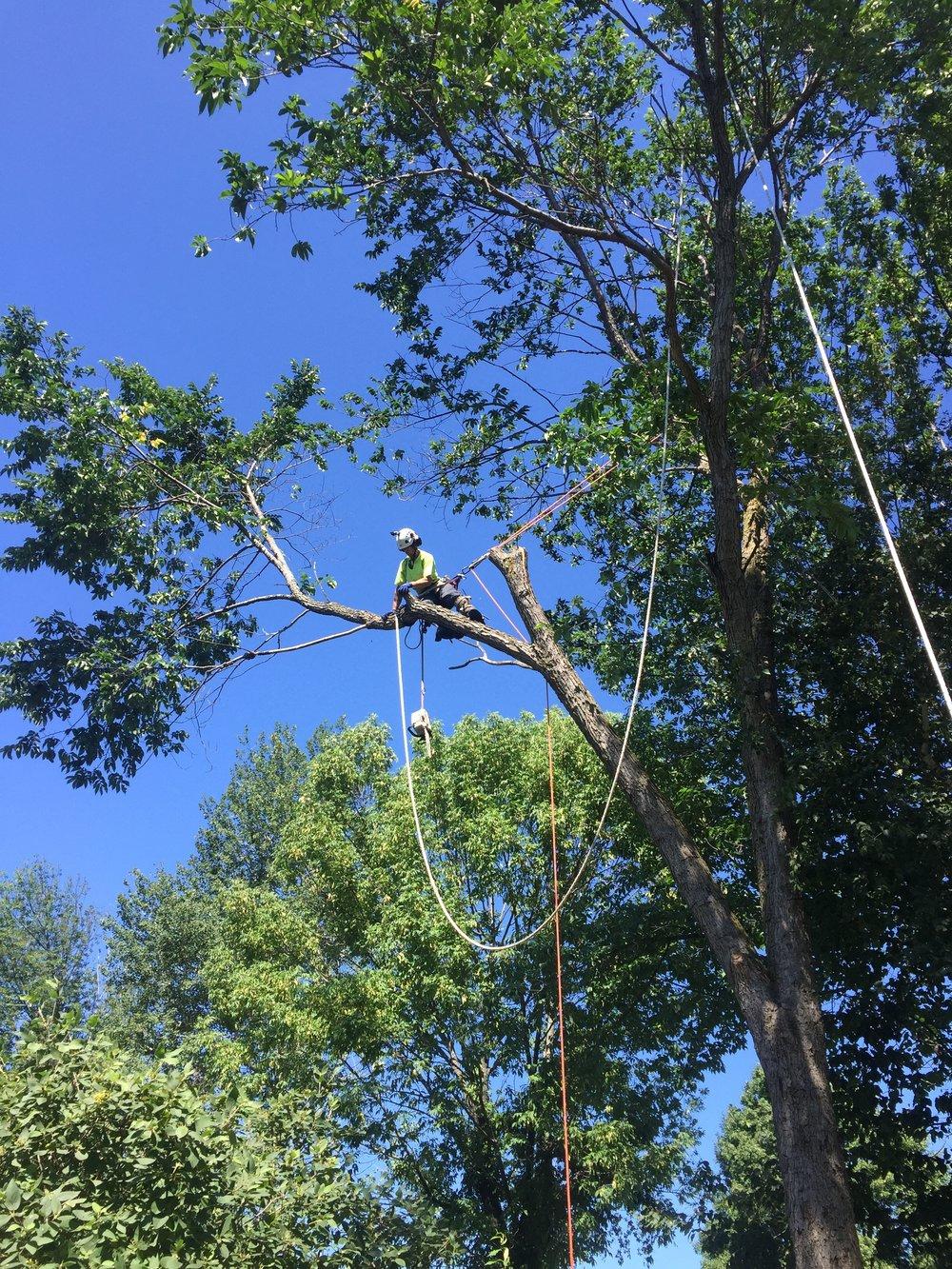 Tree Removal Arborist