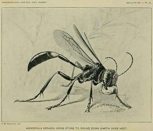 Illustration: 'Ammophila Urnaria using stone to pound down earth over nest' from  On the Instincts and Habits of the Solitary Wasps  by George W. Peckham and Elizabeth G Peckham