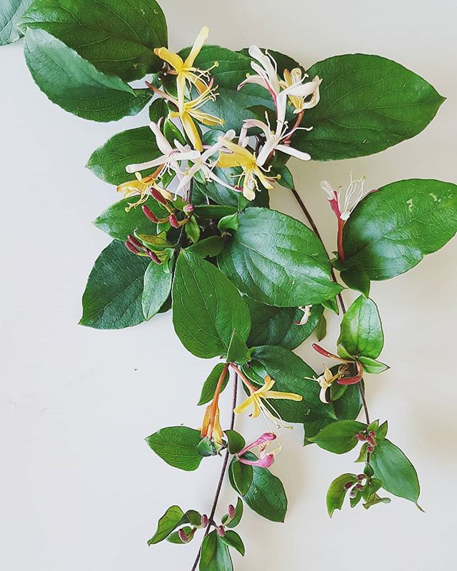 These beauties make my backyard smell like Hawaii. And it is oh so divine! Love my Jadmine plant! Anyone know if I can make my own essential oil of it?