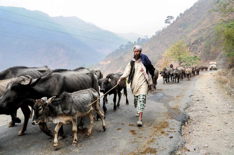 Alfa walks with the herd in the Bhagirathi Valley.