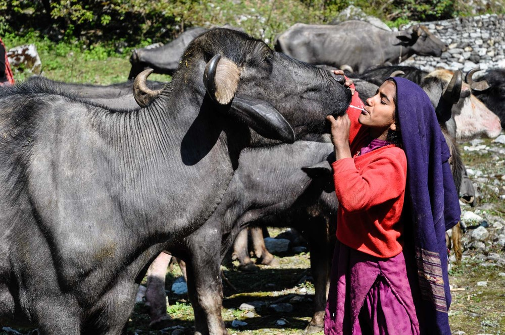 Bashi gives this buffalo a taste of its own milk, by spitting some from her mouth into its mouth. This relaxes the animal, so it gives milk more easily.