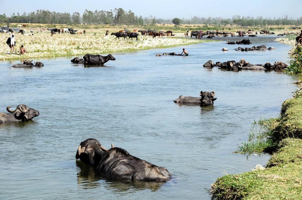 Buffaloes keep cool in the Asan River