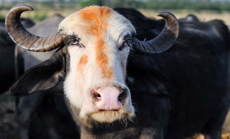 Some Van Gujjar buffaloes have white faces - this one even has a touch of henna!
