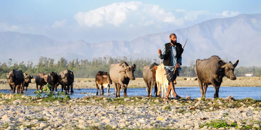 Dhumman herds his buffaloes along the Asan River