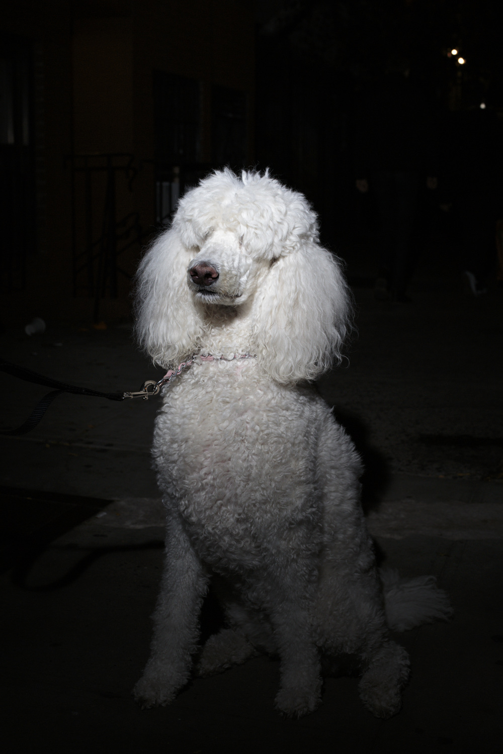 New York, USA - October 31, 2015: A clean dog with an absolutely perfect white fur reflects the change of inhabitants in the Bowery. Wealthier residents go out for a walk with their aristocratic pets.  The Bowery, a street and neighborhood in Manhattan, once home for vagrants and a diversity of subcultures became the playground of artists, fancy bars and real-estate tycoons.