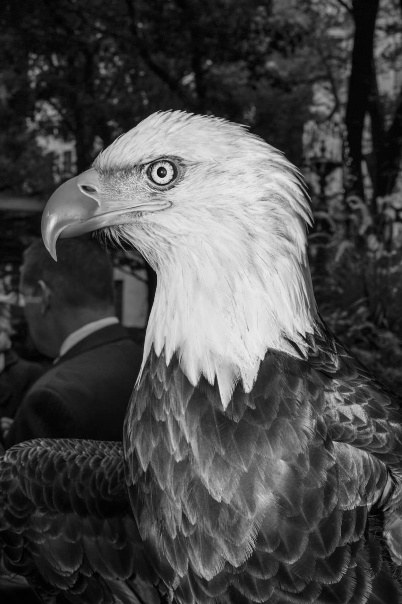 11 Nov 2015 - New York City - A bald eagle is presented at America's Parade on Veterans Day.