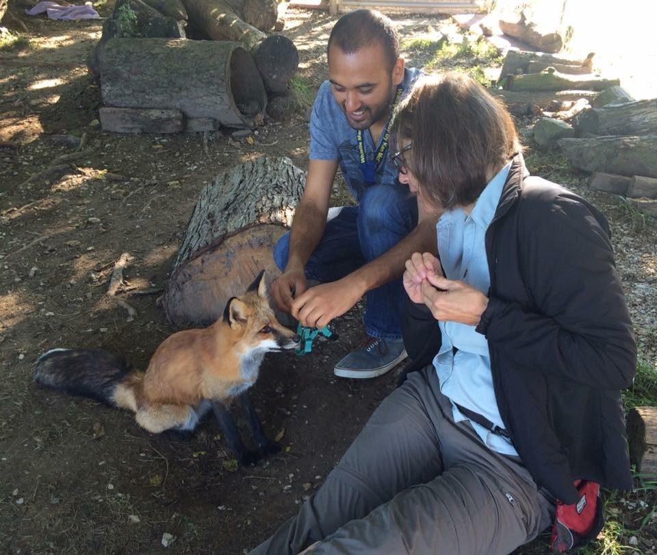 Chirag & Susan training a fox at Wolf Park, Indiana, USA.