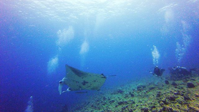 three nitrox dives today, got to see this manta ray getting cleaned by the fishes. magical. no whale sharks, but saw lots of other sharks, fish, giant lobsters and octopus too also, these were our first ever warm water dives and it's amaaaaaazing. #scuba #diving #maldives #mantaray #jennLAtravels #gopro