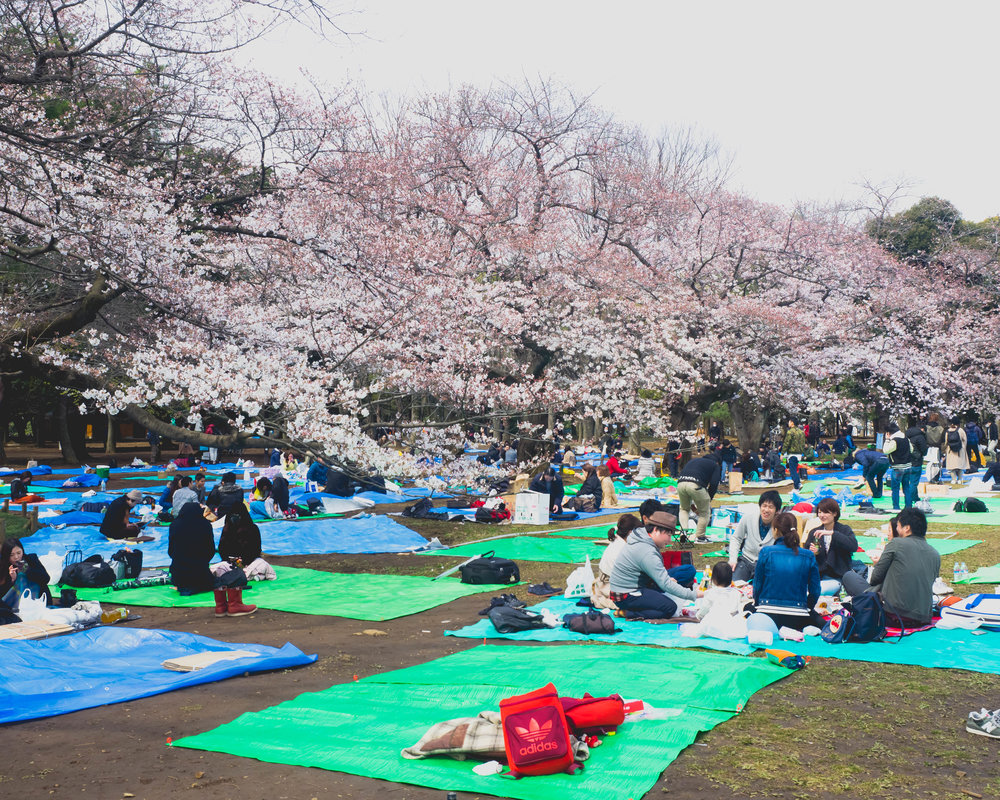 hanami , aka cherry blossom viewing parties.