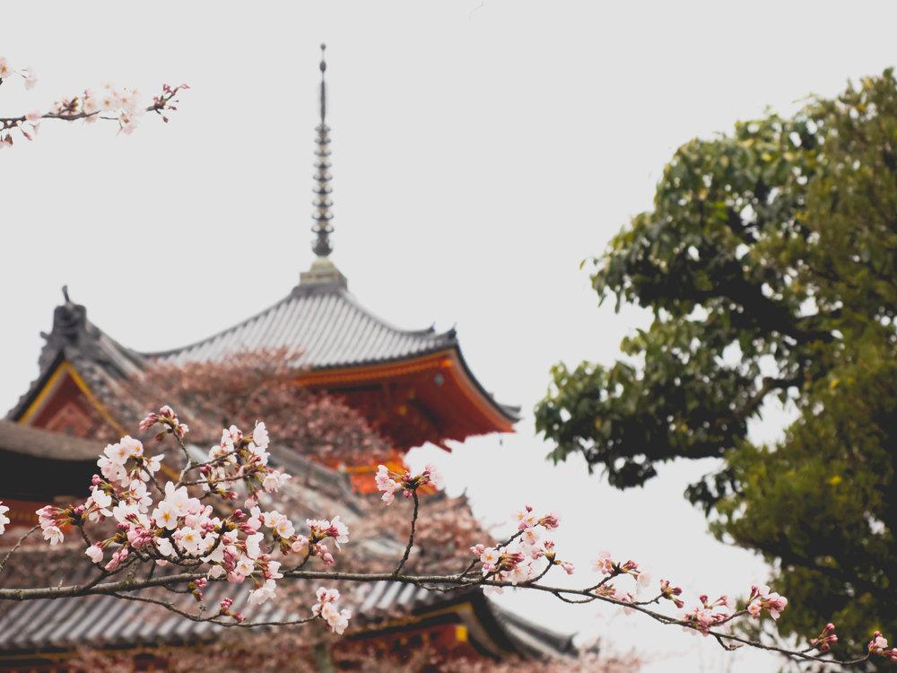 cherry blossoms at kiyomizu dera.