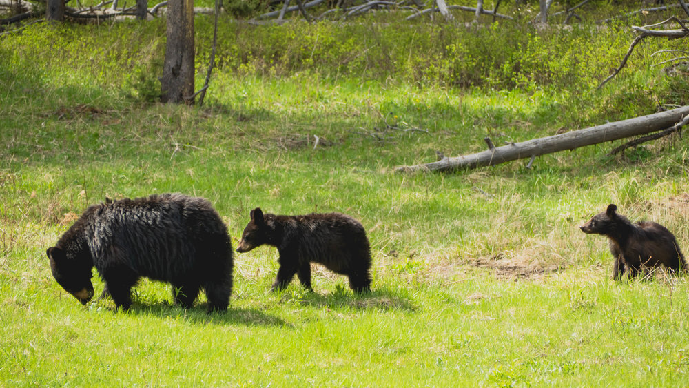 mama and two black bear cubs