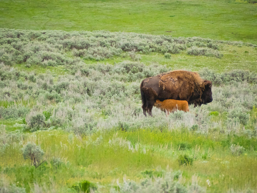 bison and baby bison.