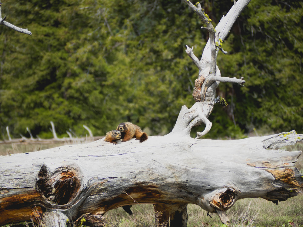 marmots.