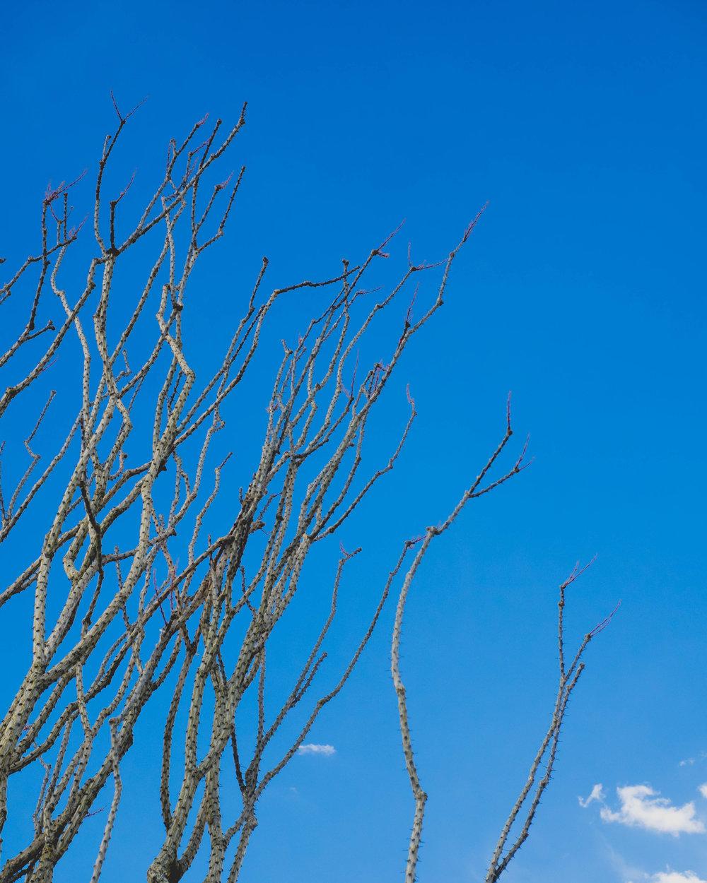 ocotillo branches.
