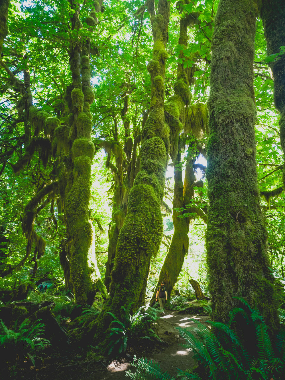 hall of mosses  in hoh rain forest.