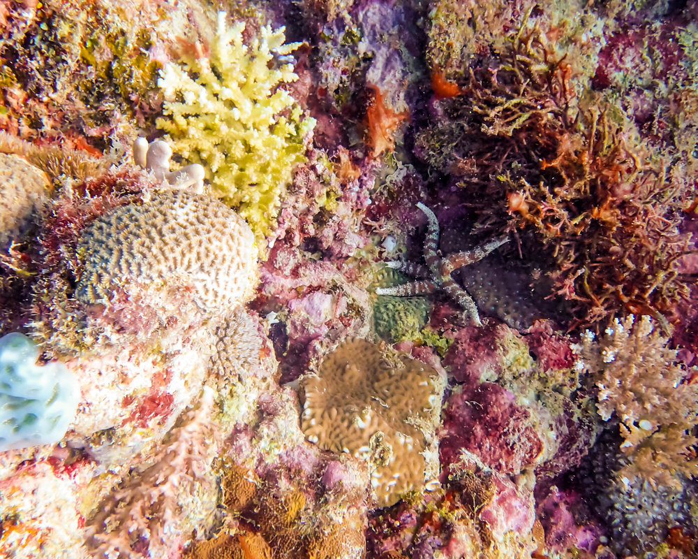starfish among corals .