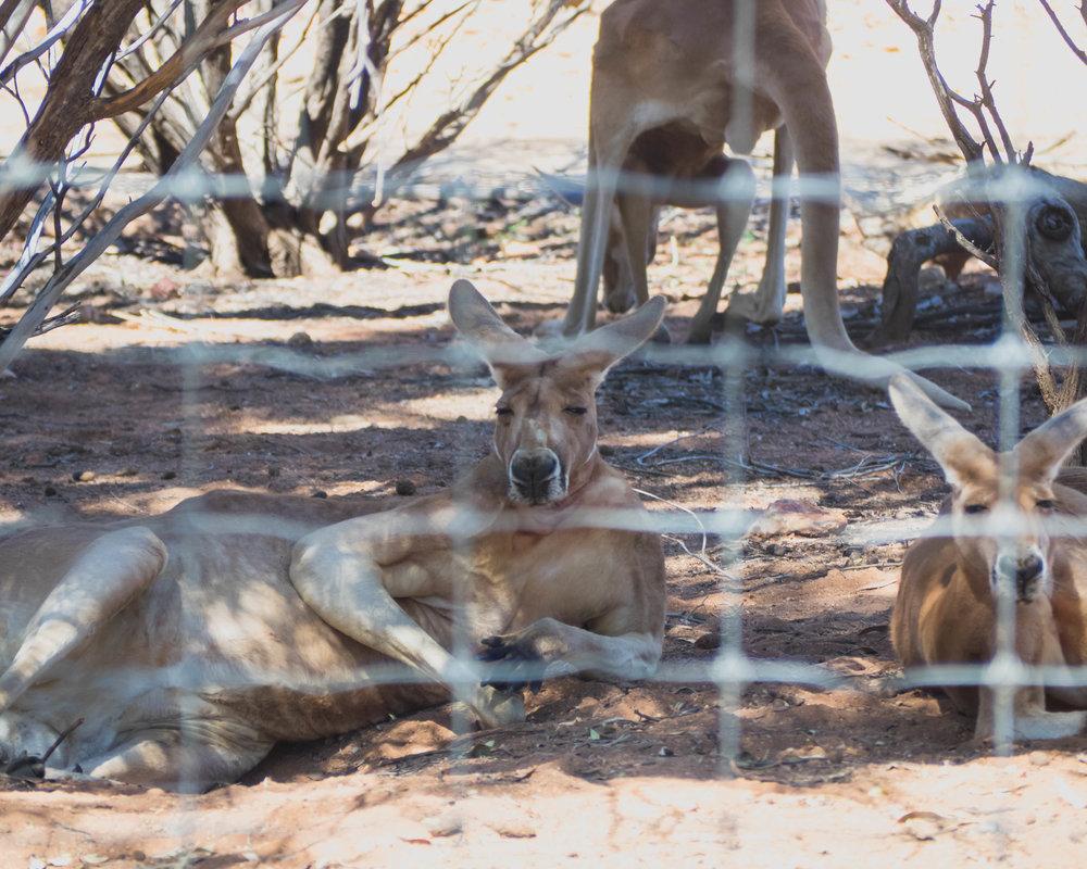 chillin' kangaroos.