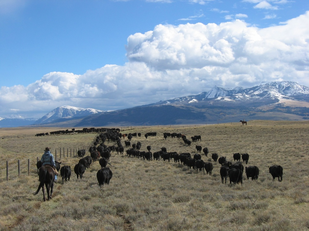 Cattle.cowboy.Mountain.jpg