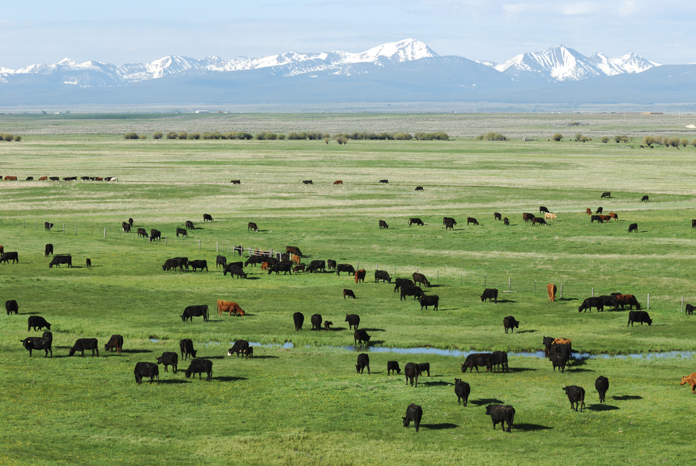 Cattle Grazing copy 2.jpg