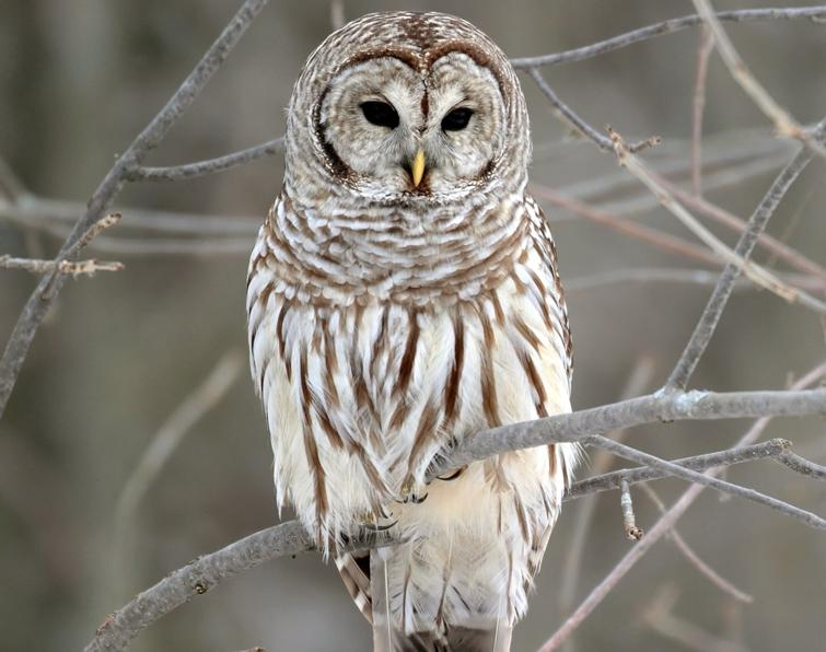 Barred owls are big and chunky.