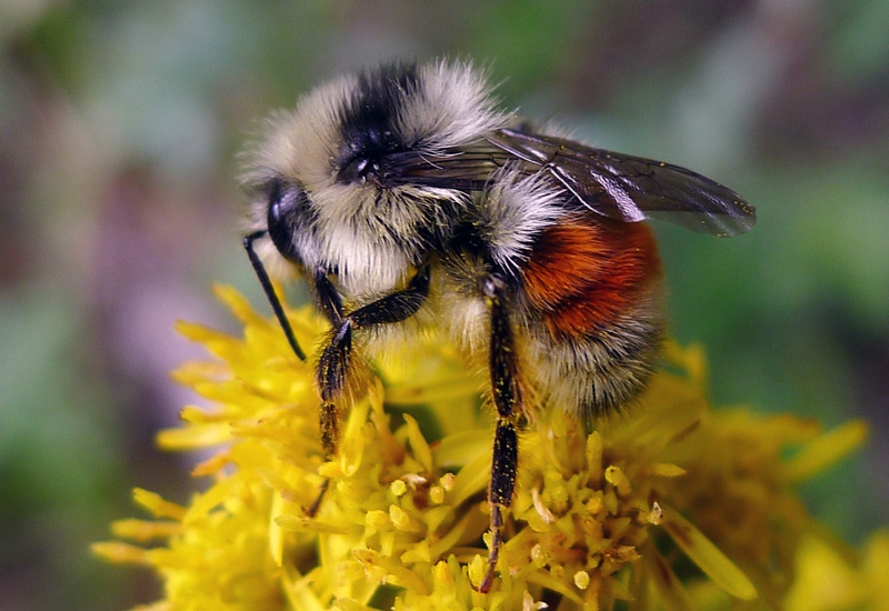 The tri-colored bumblebee.