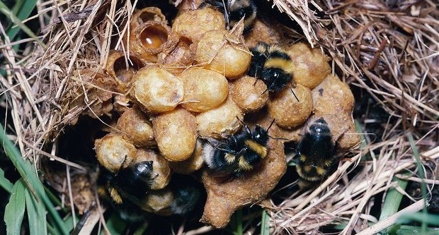 A bumblebee ground nest.