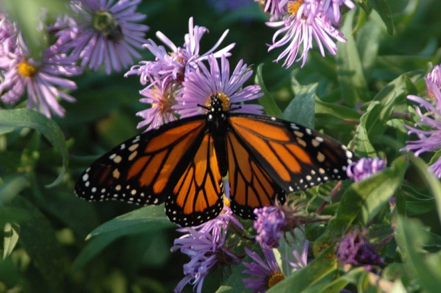 A monarch visiting asters in Sugar Hill.