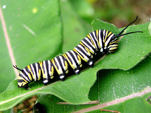 A monarch caterpillar munching on a milkweed leaf.