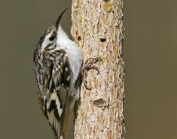 Brown creeper.