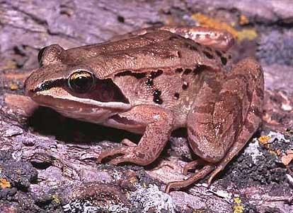 """Wood frog or """"croaker"""""""