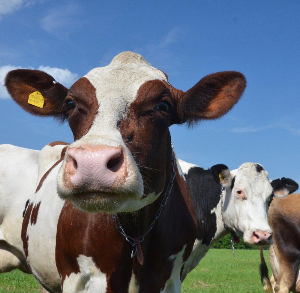 Peters cows.jpg