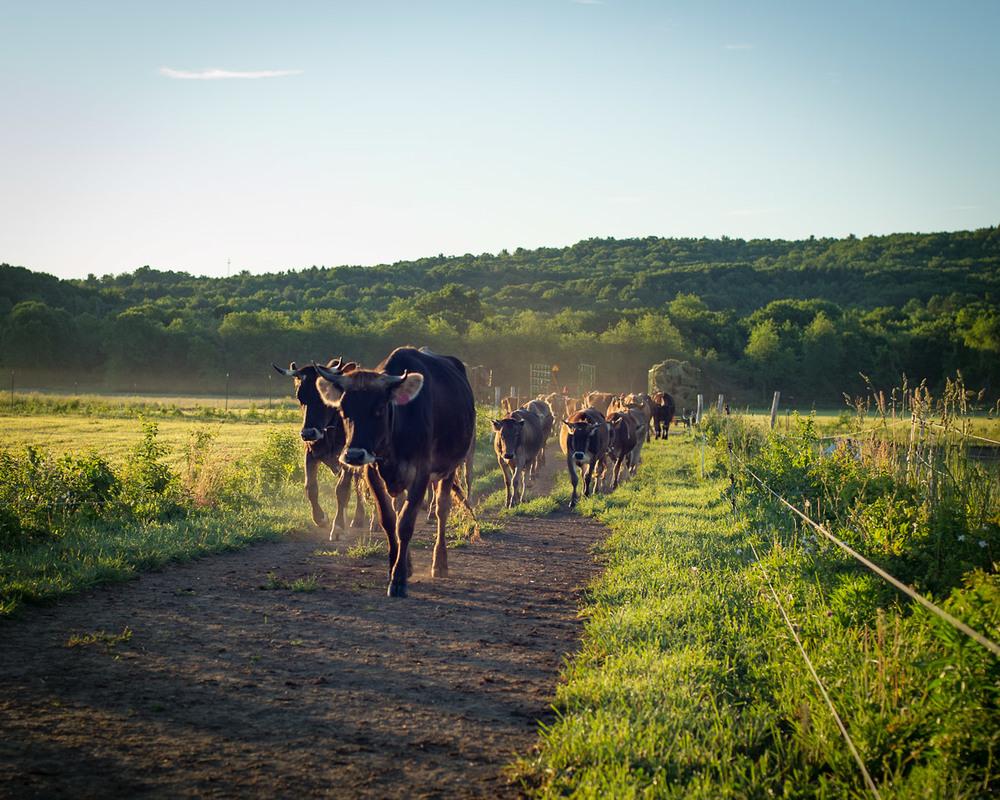 cowsinlane1.jpg